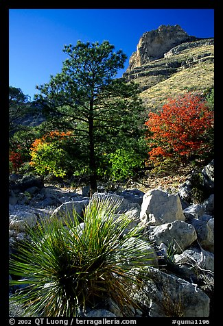 Sotol in wash in Pine Spring Canyon. Guadalupe Mountains National Park (color)