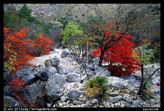 Sotol and Autumn colors in Pine Spring Canyon. Guadalupe Mountains National Park, Texas, USA.