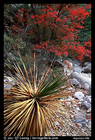 Desert Sotol and autumn foliage in Pine Spring Canyon. Guadalupe Mountains National Park (color)