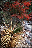Desert Sotol and autumn foliage in Pine Spring Canyon. Guadalupe Mountains National Park, Texas, USA. (color)