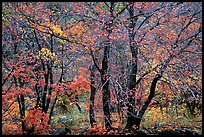 Autumn colors in  Pine Spring Canyon. Guadalupe Mountains National Park, Texas, USA.