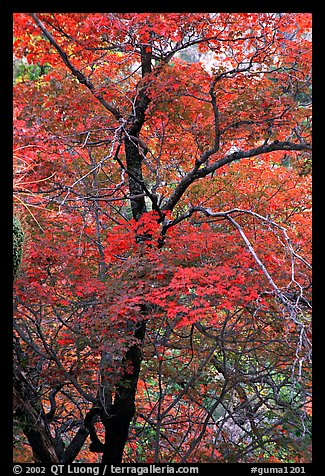 Tree with autumn foliage, Pine Spring Canyon. Guadalupe Mountains National Park (color)