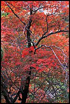 Tree with autumn foliage, Pine Spring Canyon. Guadalupe Mountains National Park, Texas, USA. (color)