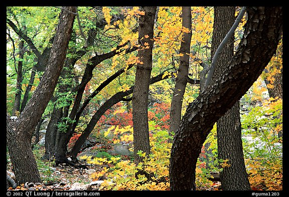 Twisted tree trunks and autumn colors, Smith Springs. Guadalupe Mountains National Park, Texas, USA.