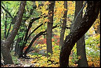 Twisted tree trunks and autumn colors, Smith Springs. Guadalupe Mountains National Park, Texas, USA. (color)