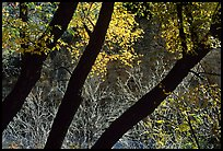 Dark trunks and autumn foliage near Smith Springs. Guadalupe Mountains National Park, Texas, USA.
