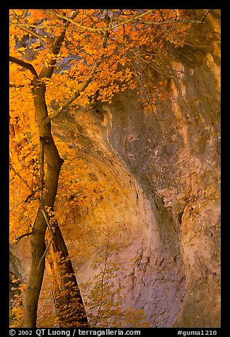 Tree and cliff, McKittrick Canyon. Guadalupe Mountains National Park (color)