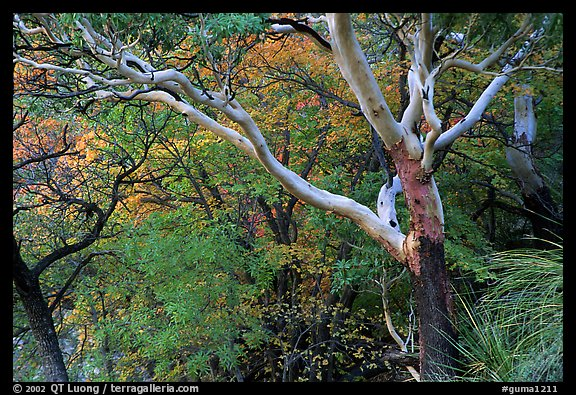 Texas Madrone Tree and autumn color, Pine Canyon. Guadalupe Mountains National Park (color)