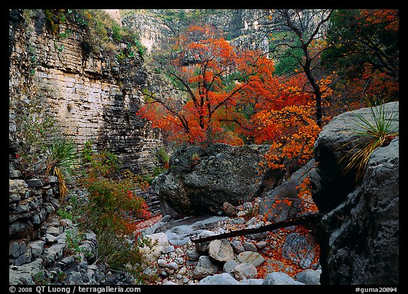 Limestone cliffs and trees in autumn color near Devil's Hall. Guadalupe Mountains National Park (color)