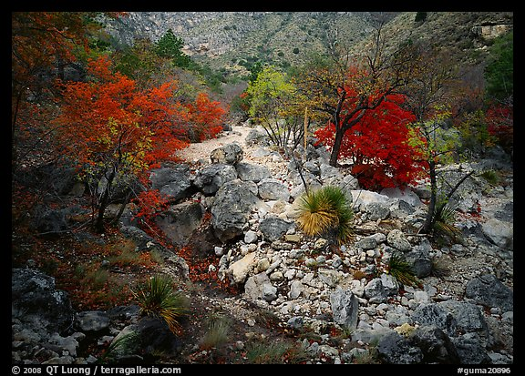 Sotol and Autumn colors in Pine Spring Canyon. Guadalupe Mountains National Park (color)