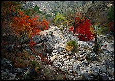 Sotol and trees in uutumn colors, Pine Spring Canyon. Guadalupe Mountains National Park, Texas, USA.