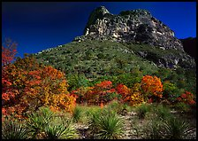 Trees in fall foliage and peak in McKitterick Canyon. Guadalupe Mountains National Park, Texas, USA. (color)
