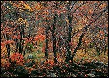 Trees in Autumn foliage, Pine Spring Canyon. Guadalupe Mountains National Park, Texas, USA. (color)
