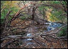 Stream and forest in fall colors near Smith Springs. Guadalupe Mountains National Park, Texas, USA. (color)