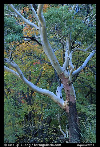 Texas Madrone Tree and muted fall foliage, Pine Canyon. Guadalupe Mountains National Park (color)