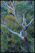 Texas Madrone Tree and muted fall foliage, Pine Canyon. Guadalupe Mountains National Park, Texas, USA.
