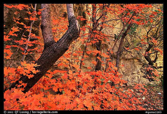 Bright orange leaves and cliff in McKittrick Canyon. Guadalupe Mountains National Park (color)