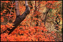 Bright orange leaves and cliff in McKittrick Canyon. Guadalupe Mountains National Park, Texas, USA. (color)