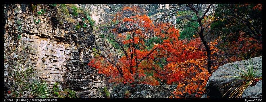 Maple with red autumn foliage in canyon. Guadalupe Mountains National Park (color)