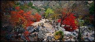 Dry desert wash with trees in bright fall foliage. Guadalupe Mountains National Park (Panoramic color)