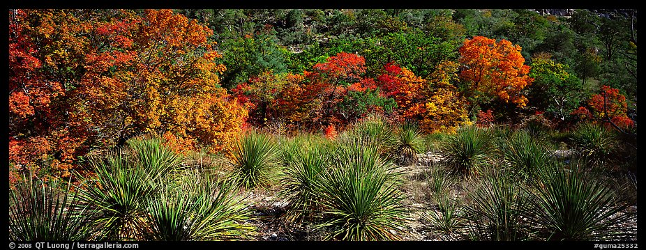Desert plants and trees in fall foliage. Guadalupe Mountains National Park (color)