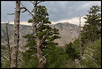 Pine trees, Pine Springs Canyon, cloudy weather. Guadalupe Mountains National Park, Texas, USA. (color)