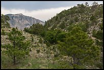 Coniferous forest, approaching storm. Guadalupe Mountains National Park, Texas, USA. (color)