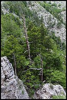 Pinnacles and conifer trees. Guadalupe Mountains National Park, Texas, USA. (color)