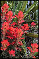 Close-up of Indian paintbrush and sotol. Guadalupe Mountains National Park, Texas, USA. (color)