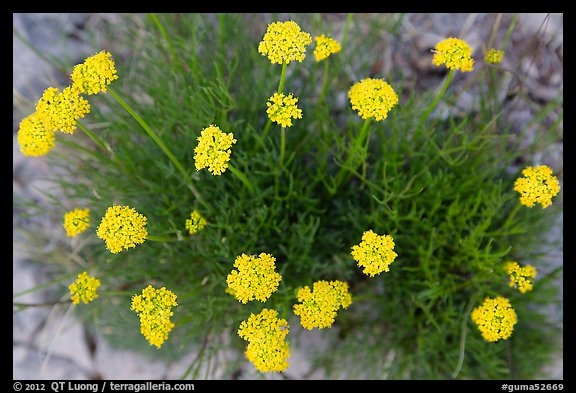 Yellow flowers seen from above. Guadalupe Mountains National Park (color)