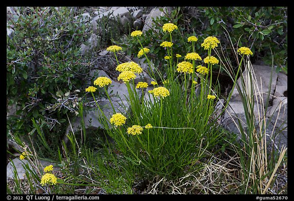 Close up of cluster of yellow flowers. Guadalupe Mountains National Park (color)