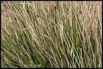 Ladybugs in grass. Guadalupe Mountains National Park, Texas, USA. (color)