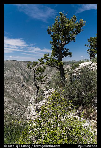 Pine trees and limestone rock. Guadalupe Mountains National Park (color)