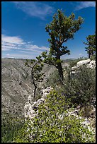 Pine trees and limestone rock. Guadalupe Mountains National Park, Texas, USA. (color)