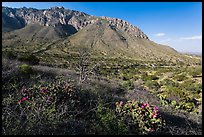 Cactus and mountains. Guadalupe Mountains National Park, Texas, USA. (color)