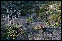 Cactus, bare thorny shrubs. Guadalupe Mountains National Park, Texas, USA. (color)