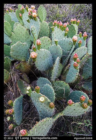 Blooming Prickly Pear cactus. Guadalupe Mountains National Park (color)