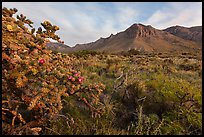 Cactus with blooms and Hunter Peak at sunrise. Guadalupe Mountains National Park, Texas, USA. (color)