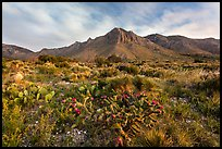 Chihuahan desert cactus and mountains. Guadalupe Mountains National Park ( color)