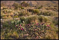 Blooming cactus and sucullent plants. Guadalupe Mountains National Park, Texas, USA. (color)