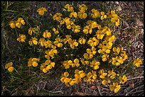 Yellow desert flowers close-up. Guadalupe Mountains National Park ( color)