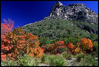 Trees in fall colors and peak in McKitterick Canyon. Guadalupe Mountains National Park, Texas, USA.