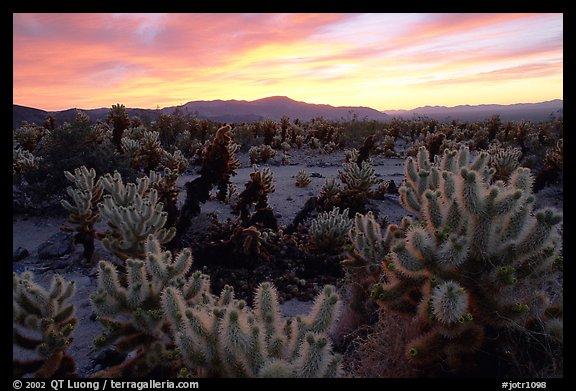 Picture Photo Cholla Cactus Garden Sunrise Joshua Tree National Park