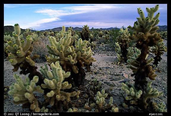 Cholla cactus garden. Joshua Tree National Park, California, USA.