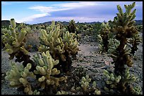 Cholla cactus garden. Joshua Tree National Park, California, USA. (color)