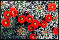 Claret Cup Cactus with flowers. Joshua Tree National Park, California, USA. (color)