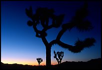 Joshua Trees silhouette at sunset. Joshua Tree National Park, California, USA. (color)