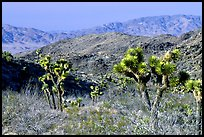 Joshua Trees and Pinto Mountains. Joshua Tree National Park, California, USA. (color)