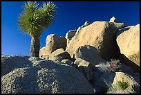 Joshua Tree and boulders. Joshua Tree National Park, California, USA.