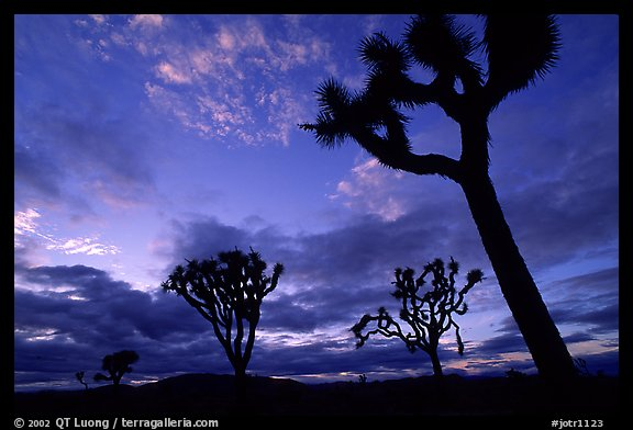 Joshua trees, sunset. Joshua Tree National Park (color)